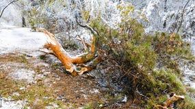 Stupat sörja trädfilialen i vinterskog Arkivbilder