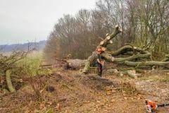 Stupat stort träd i skogen som huggas av upp arkivbilder