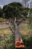 Stupat träd för snitt ner på gräset Royaltyfri Fotografi