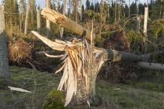 Stupat träd för storm arkivfoton
