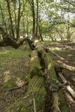 Stupat träd nya Forest Hampshire UK Arkivbild