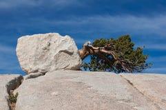 Stupat träd på en stenkulle i Yosemite Royaltyfri Foto