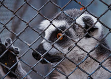 Stupefied of the lemur. In the park Royalty Free Stock Image