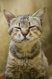 Stupid cat. Close up of a gray cat thinking... sleeping perhaps royalty free stock photos
