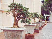 Sturdy bonsai tree in the pot Royalty Free Stock Images