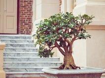 Sturdy bonsai tree in the pot Royalty Free Stock Photos
