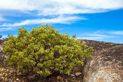 Sturdy Bush. Green bush growing on a rocky terrain in Yosemite National Park, California Royalty Free Stock Images