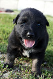Sturdy cute black puppy Stock Image
