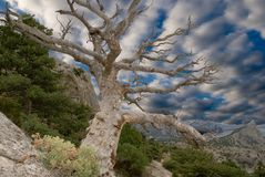 Sturdy dry tree. On the slope of mountain Royalty Free Stock Photography