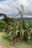 The sturdy Harakeke plant on New Zealand. Auckland, New Zealand - March 2, 2017: the sturdy Harakeke plant shows stems with seed husks under heave cloudscape Royalty Free Stock Image