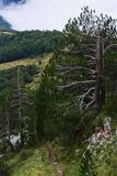 Sturdy pines growing in the harsh environment of the mountains royalty free stock photos