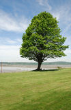 Sturdy Tree. On a long lawn Royalty Free Stock Photos