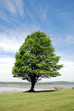 Sturdy Tree. On a long lawn Stock Image