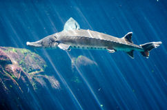 Sturgeon in an aquariom. Sturgeon at the Montreal, Canada biodome Royalty Free Stock Image