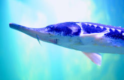 Sturgeon fish. Swimming in a fish tank Stock Image