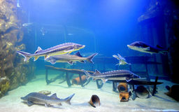 Sturgeon fish. Swimming in a fish tank stock illustration