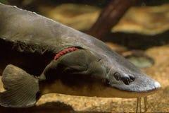 Sturgeon fish caviar eggs underwater Stock Images