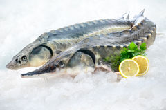 Sturgeon fish stock image
