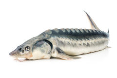 Sturgeon fish Stock Photo