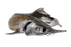 Sturgeon fish is isolated on white background Stock Photos