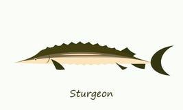 Sturgeon fish isolated on white background. Simple flat image Royalty Free Stock Photo