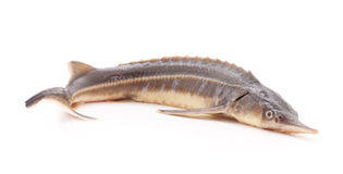 Sturgeon fish. Royalty Free Stock Images