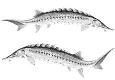 Sturgeon fishes,  Stock Photo