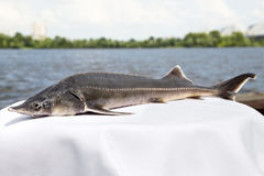 Sturgeon on the River Stock Photography