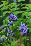 Sturmhut Aconitum autumnale Nahaufnahme blauer und weißer Blumen Stockfoto