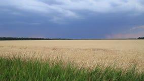 Sturmwolken und -blitz im Sonnenunterganghimmel über einem Feld des Weizens Himmel und Ozean auf Sonnenuntergang stock video