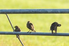 Sturnus d'oiseau d'étourneaux communs vulgaris avec le beau plumage images stock