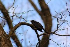 Sturnus gemein auf einem Baumast, Vogel Stockfotografie