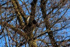 Sturnus im Wald Lizenzfreie Stockfotos