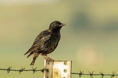 Sturnus masculin d'oiseau d'étourneau commun vulgaris avec le beau plumage photos libres de droits