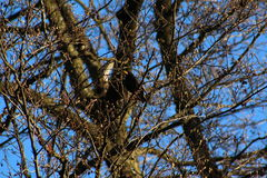 Sturnus nella foresta Fotografie Stock Libere da Diritti