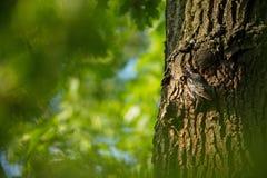 Sturnus vulgar A natureza selvagem de República Checa Natureza livre Imagem de um pássaro na natureza Retrato bonito Pássaro no fotografia de stock
