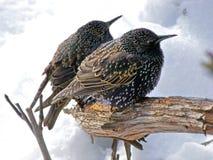 Sturnus vulgaris - европеец starling Стоковые Фотографии RF