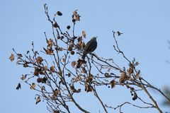 Sturnus vulgaris bird. On tree Royalty Free Stock Images