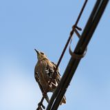 Sturnus vulgaris on cable. European starling ( sturnus vulgaris ) standing on an electric cable Stock Photography