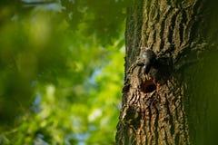 Sturnus vulgaris La natura selvaggia della repubblica Ceca Natura libera Immagine di un uccello in natura Bella maschera Uccello  fotografia stock libera da diritti