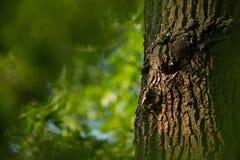 Sturnus vulgaris La natura selvaggia della repubblica Ceca Natura libera Immagine di un uccello in natura Bella maschera Uccello  fotografie stock
