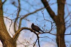 Sturnus vulgaris op een boomtak, vogel Stock Foto