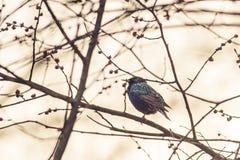 Sturnus vulgaris. Spring bird on a tiny twig Stock Image