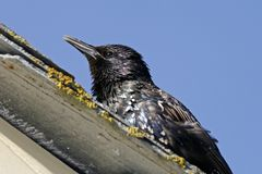 Sturnus vulgaris, Starling Stock Photography