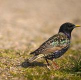 Sturnus vulgaris. Starling, Sturnus vulgaris prisoners worms Stock Photography