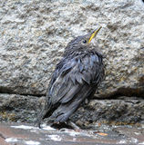 Sturnus vulgaris. Wet, young star (Sturnus vulgaris Stock Photography