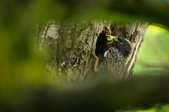 Sturnus vulgaris. The wild nature of the Czech Republic. Free nature. Picture of a bird in nature. Beautiful picture. Bird in the. Woods. Deep forest royalty free stock images