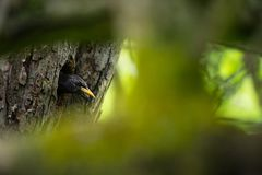 Sturnus vulgaris. The wild nature of the Czech Republic. Free nature. Picture of a bird in nature. Beautiful picture. Bird in the. Woods. Deep forest stock photos