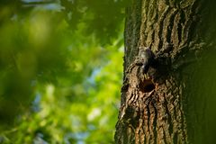 Sturnus vulgaris. The wild nature of the Czech Republic. Free nature. Picture of a bird in nature. Beautiful picture. Bird in the. Woods. Deep forest royalty free stock photo
