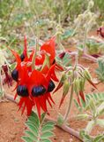 The sturt desert pea is native to Australia Royalty Free Stock Photo